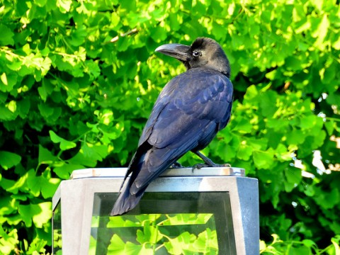 Much Ado About and Much Surprise From Japan's Jungle Crows (Karasu) images