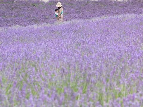 Lavender fields of Farm Tomita/Hokkaido images