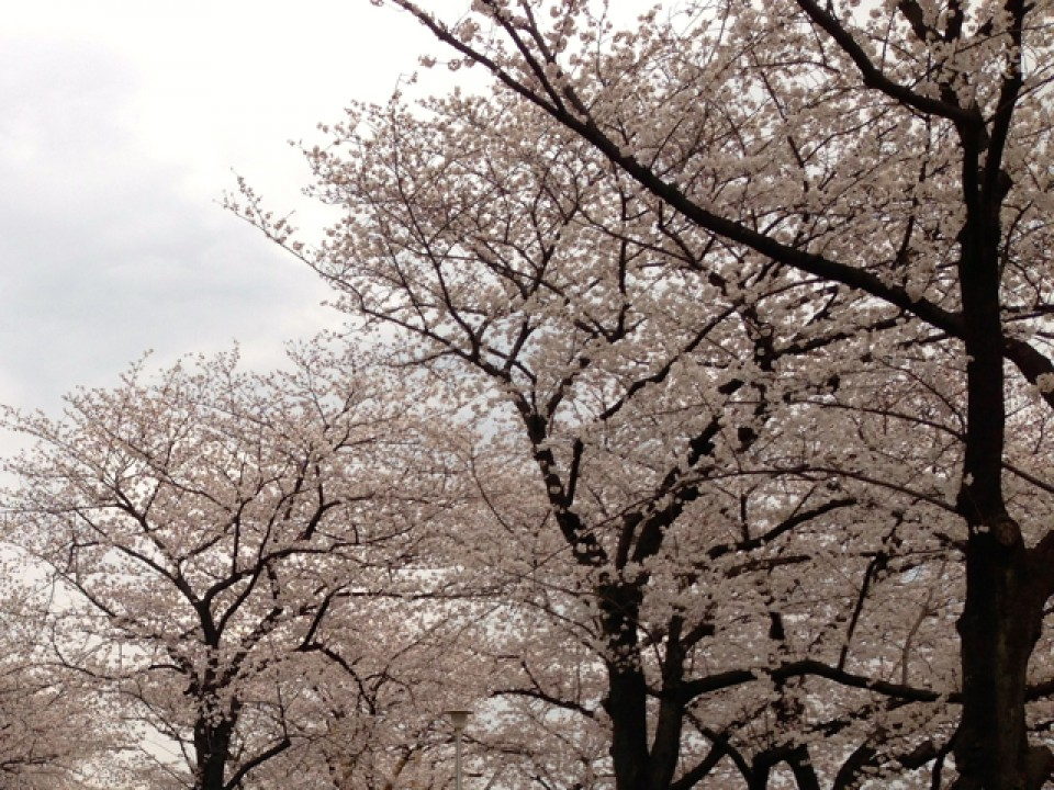 Sakura at Sumida river