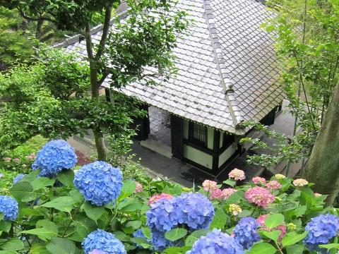 Kamakura: the hydrangeas of Hasedera images