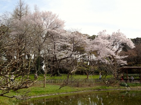 Hanami at the Imperial Palace in Tokyo images