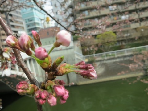 Cherry blossoms along the Meguro River are about to bloom! images