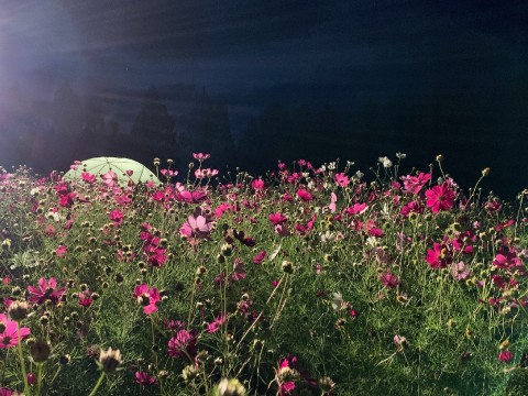 Ikoma Plateau Where One Million Cosmos Bloom images