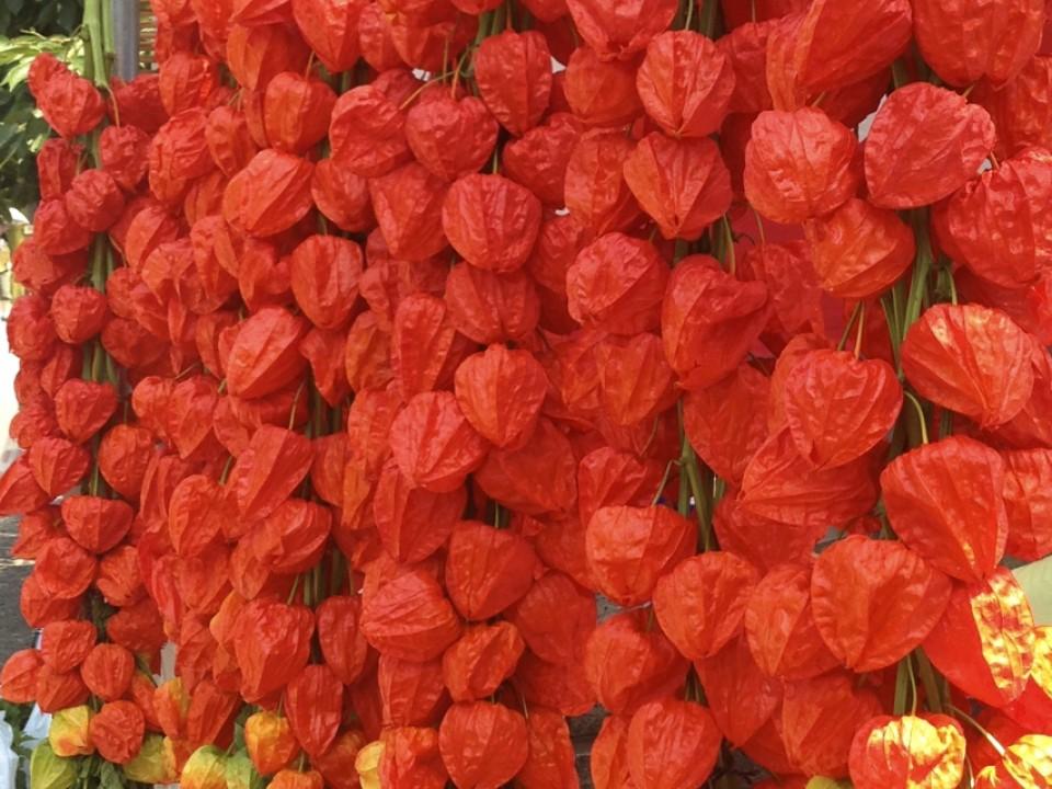 Hozuki lantern plants