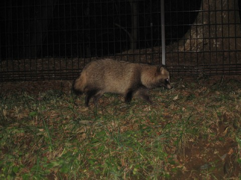 Tanuki - Racoon Dogs images