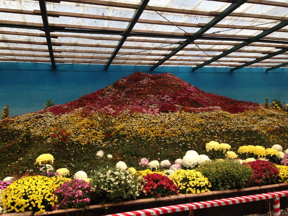 Mt. Fuji out of Chrysanthemums