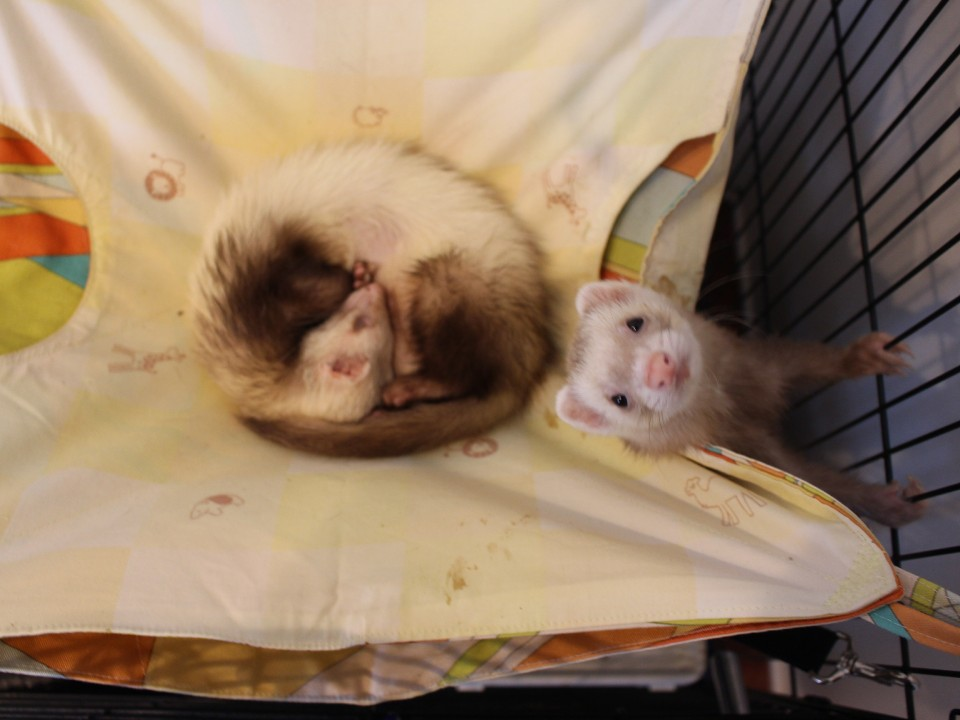 A couple of the ferrets at the cafe