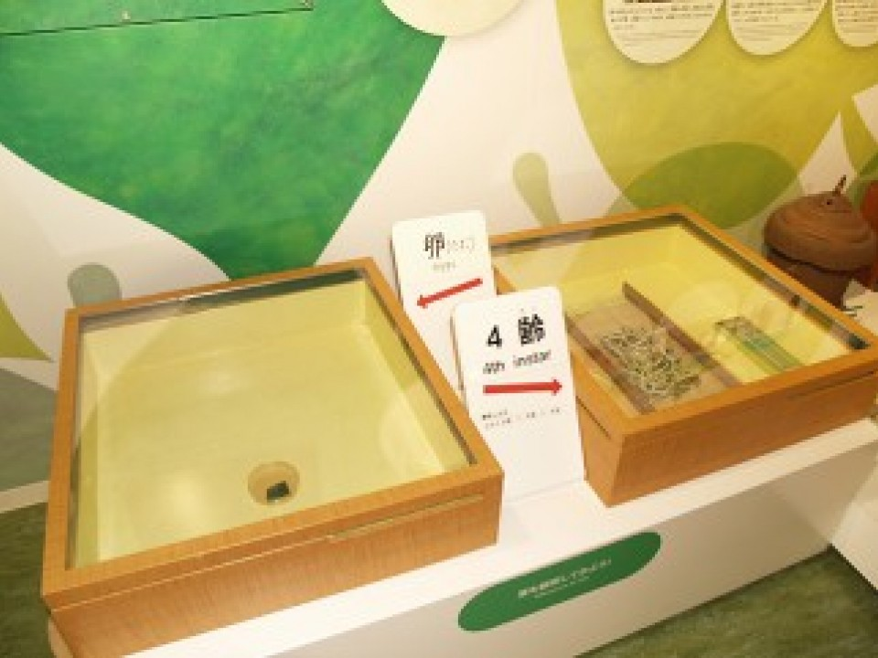 Visitors can see silkworm eggs and observe the process of raising silkworms