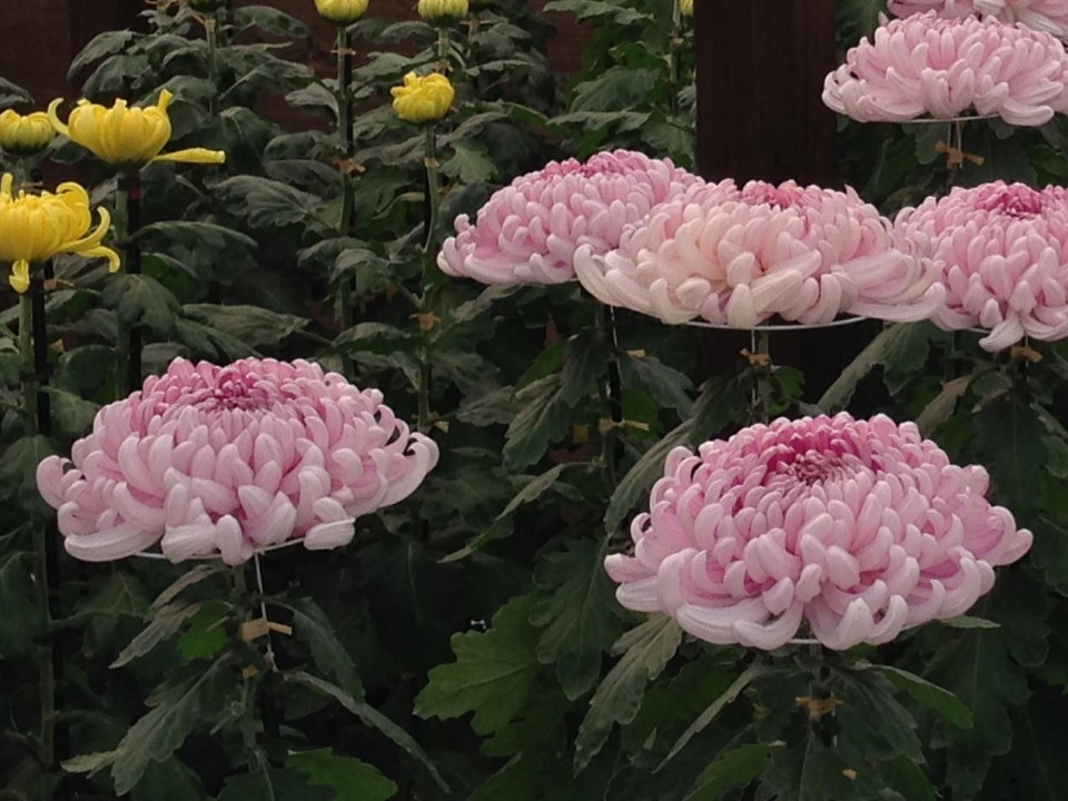 huge individual flowers