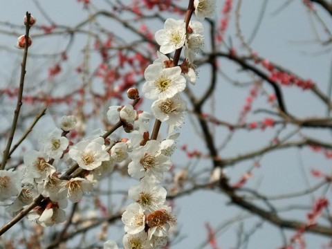 The Plum Blossoms are the tough guys... images