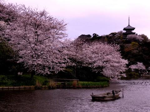 Yokohama Hanami Hotspots images