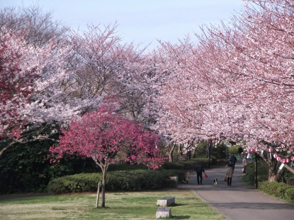 Cherry Blossoms in Honmoku Sancho Park