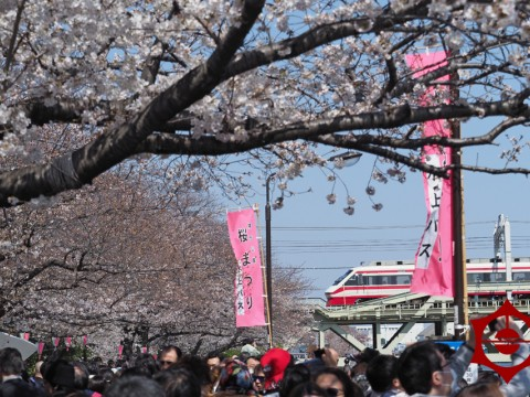 Sumida Park Cherry Blossom Festival images