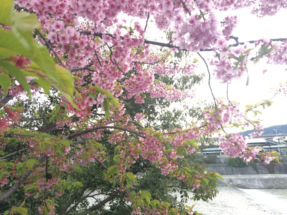 My first cherry of the year, in Kyoto