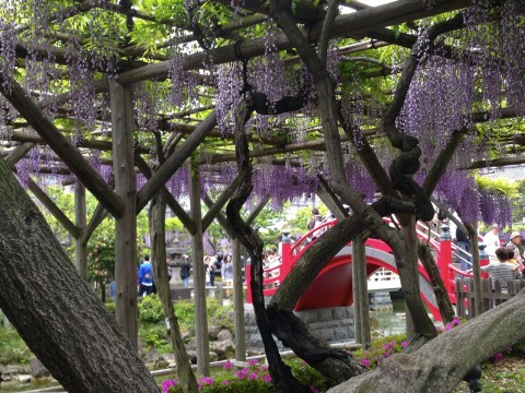 Wisteria: Fuji - Spring Flowers in Japan images
