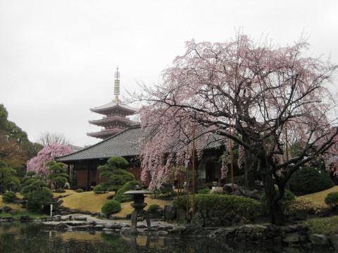 Sakura in Asakusa images