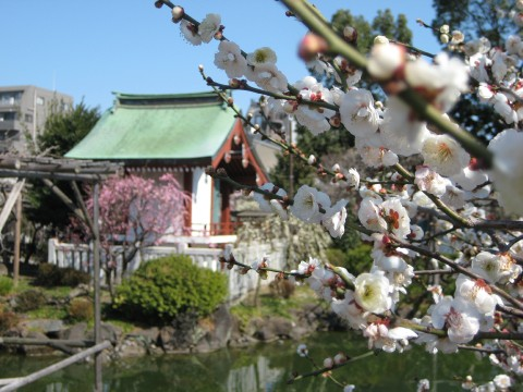 Ume (plum) blossoms in Sumida-ku images