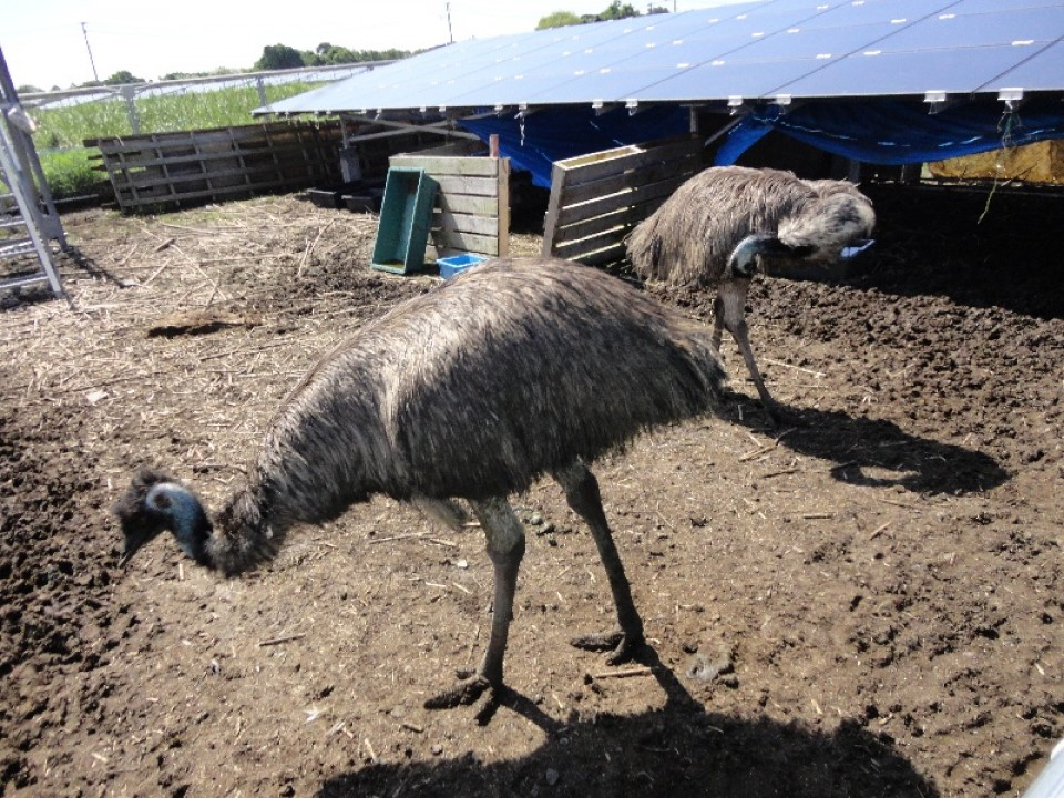 "Emus introduced at ""Power Plant Kyubei No. 2"" (source: Nikkei BP)"