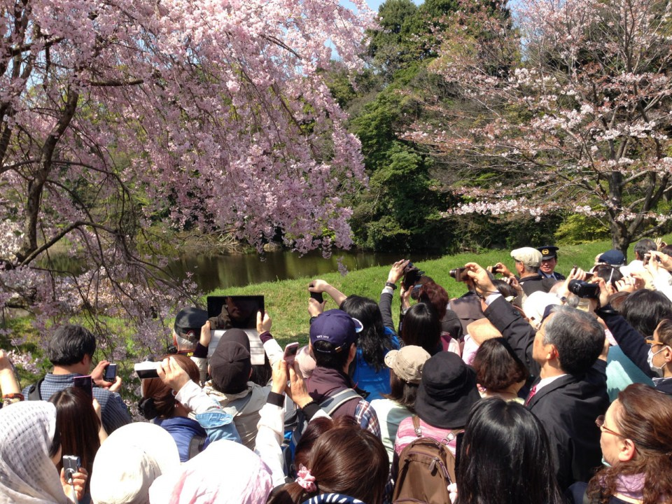 hanami inside the palace gardens in April