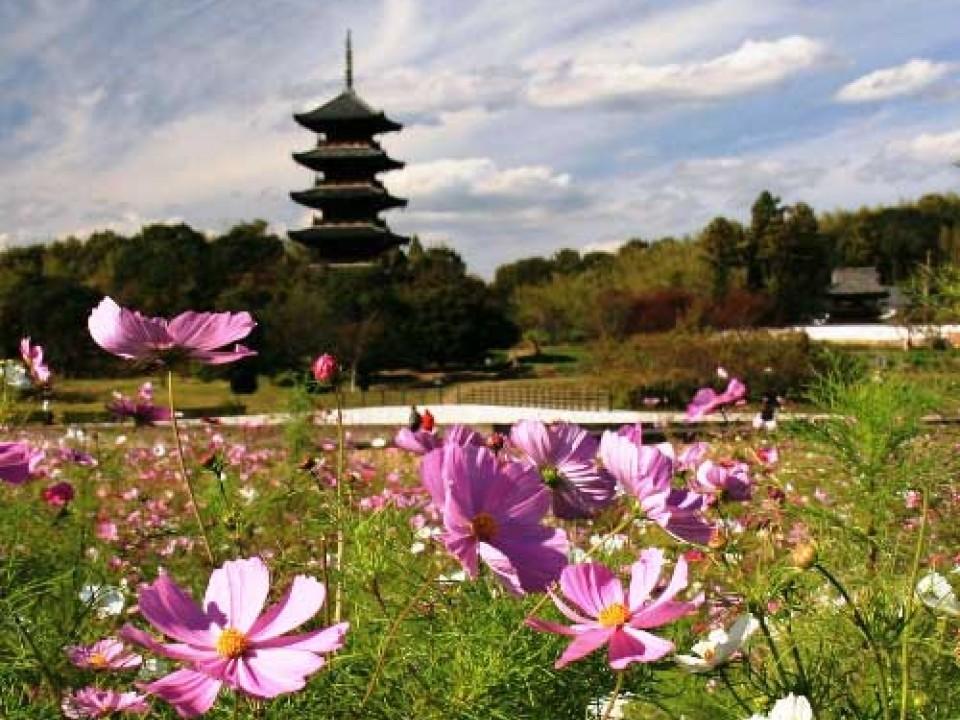 Cosmos flowers in bloom at Bitchu-Kokubunji.