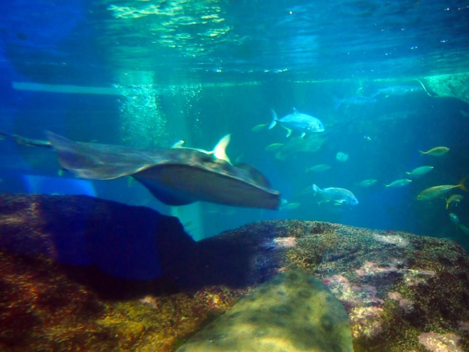 Enoshima Aquarium Manta