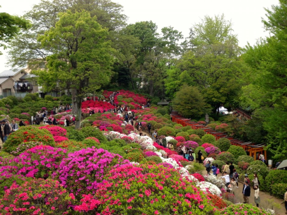 azalea hill at Nezu Shrine