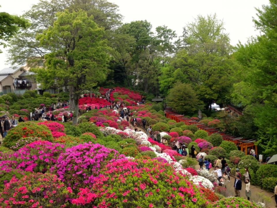azalea hill at Nezu Shrine