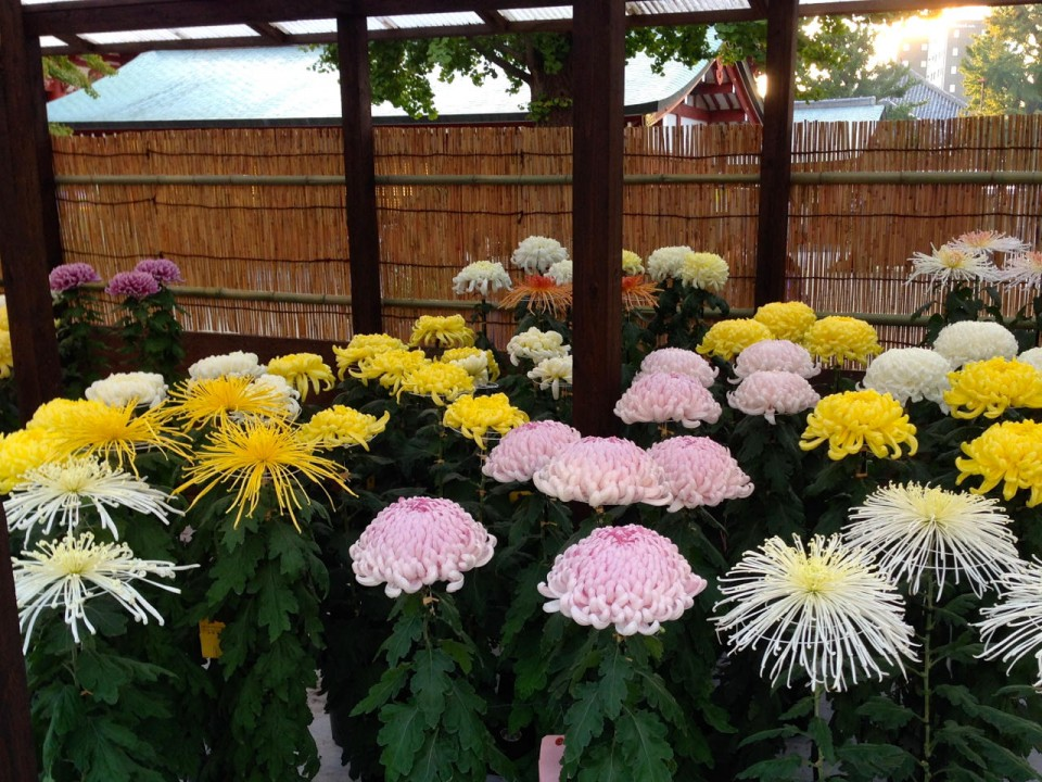 Chrysanthemum display in Asakusa