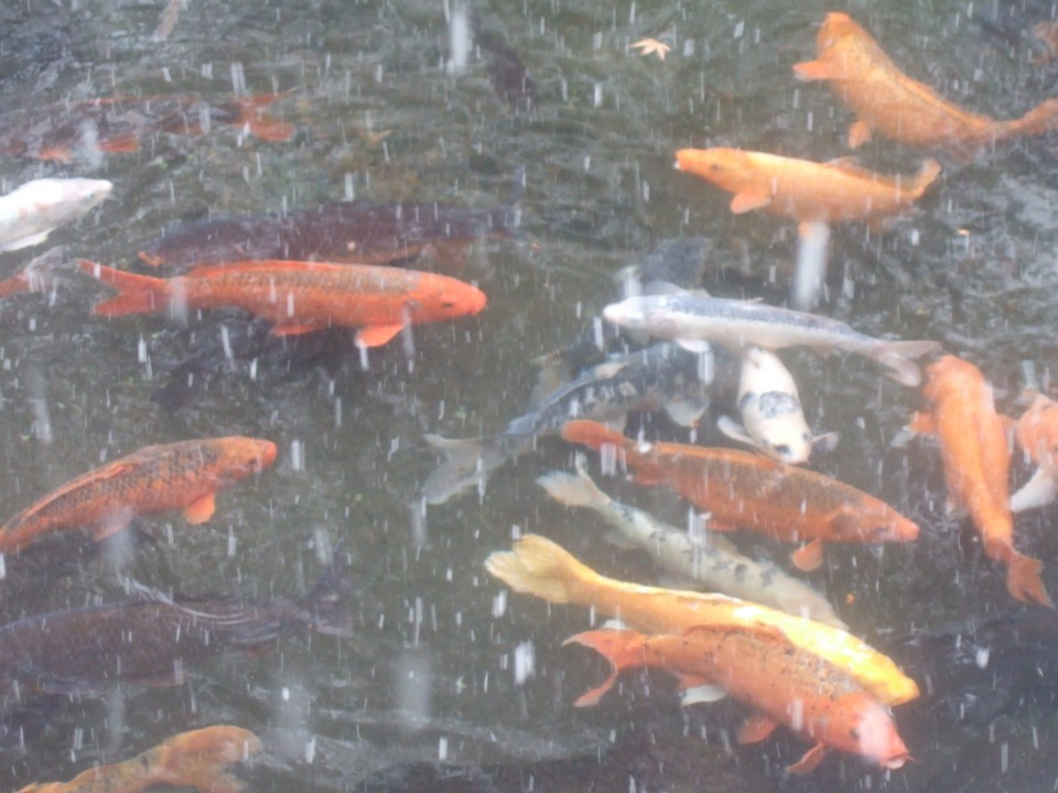 The most colourful 'koi' ('carp')