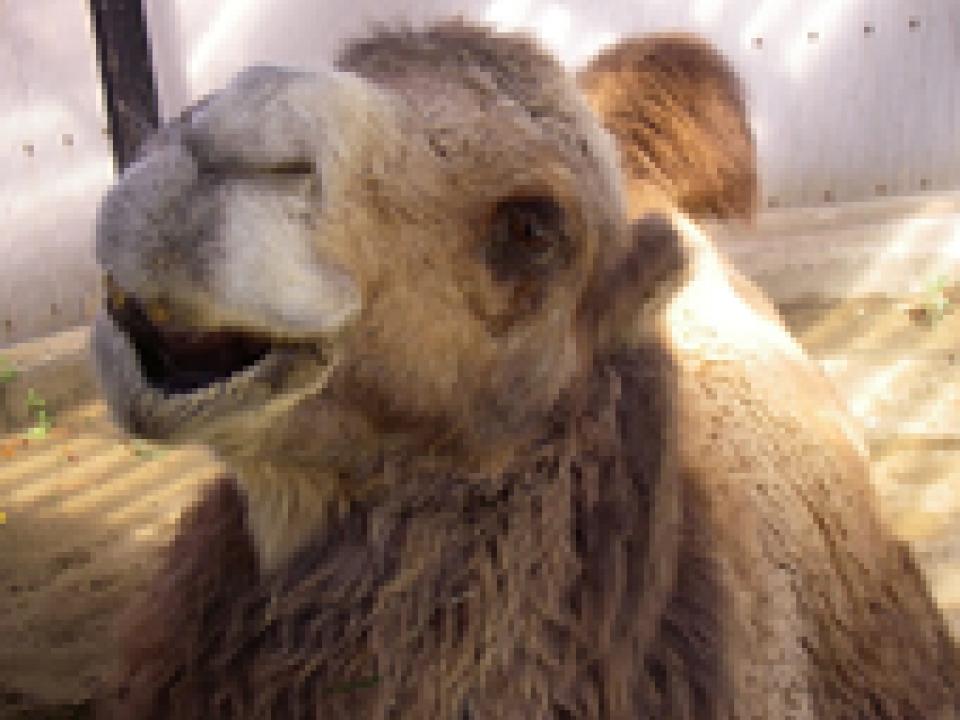 """Camel """"Tsugaru"""""""