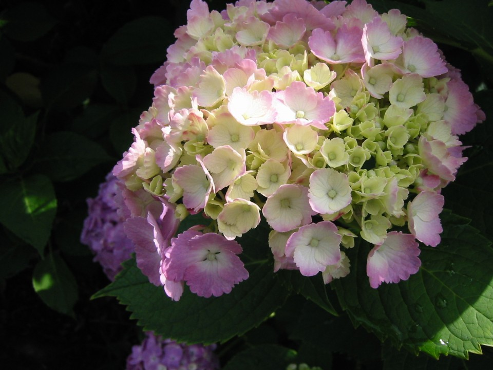 Pink and White Hydrangea