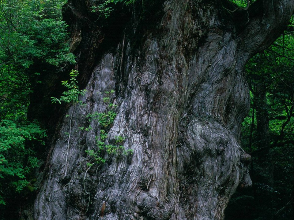 Jomon Sugi on Yakushima Island