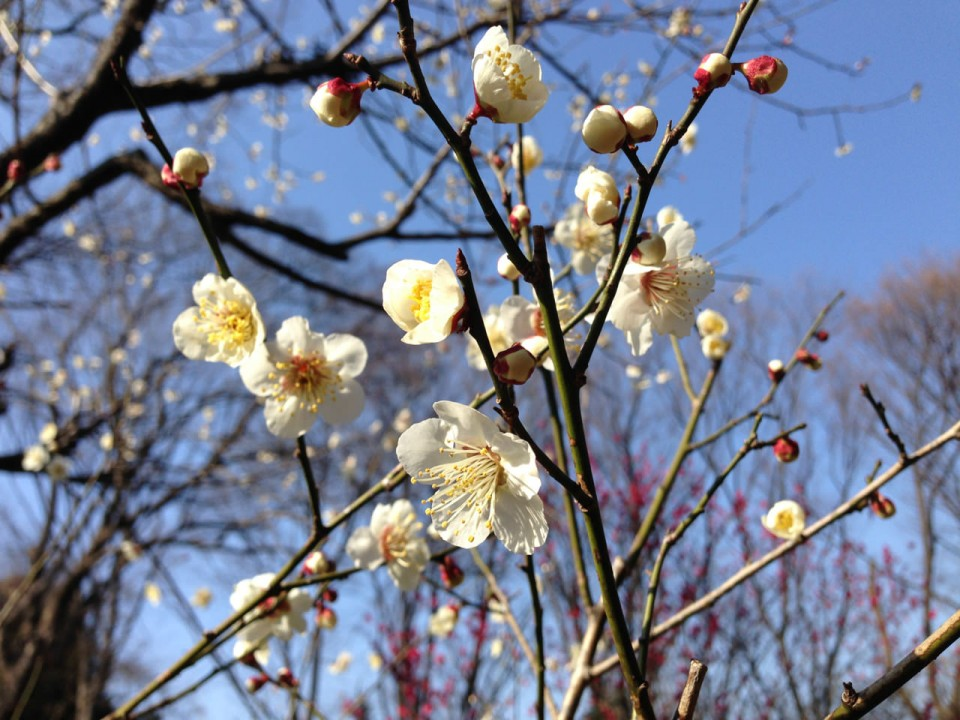 Japanese ume flowers