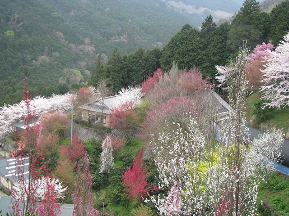 In spring, the blossoms in full bloom in Kinokoen are a sight to behold