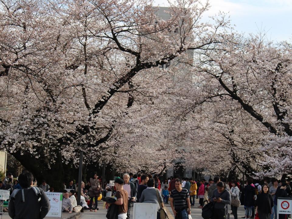 Sakura at TIT