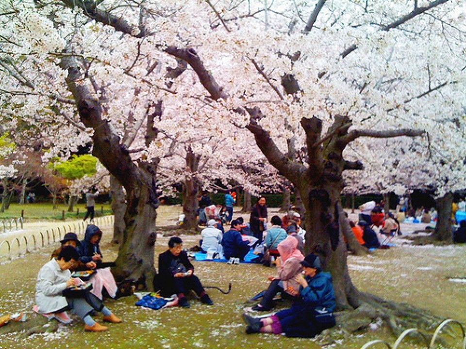 The way to enjoy hanami like a local