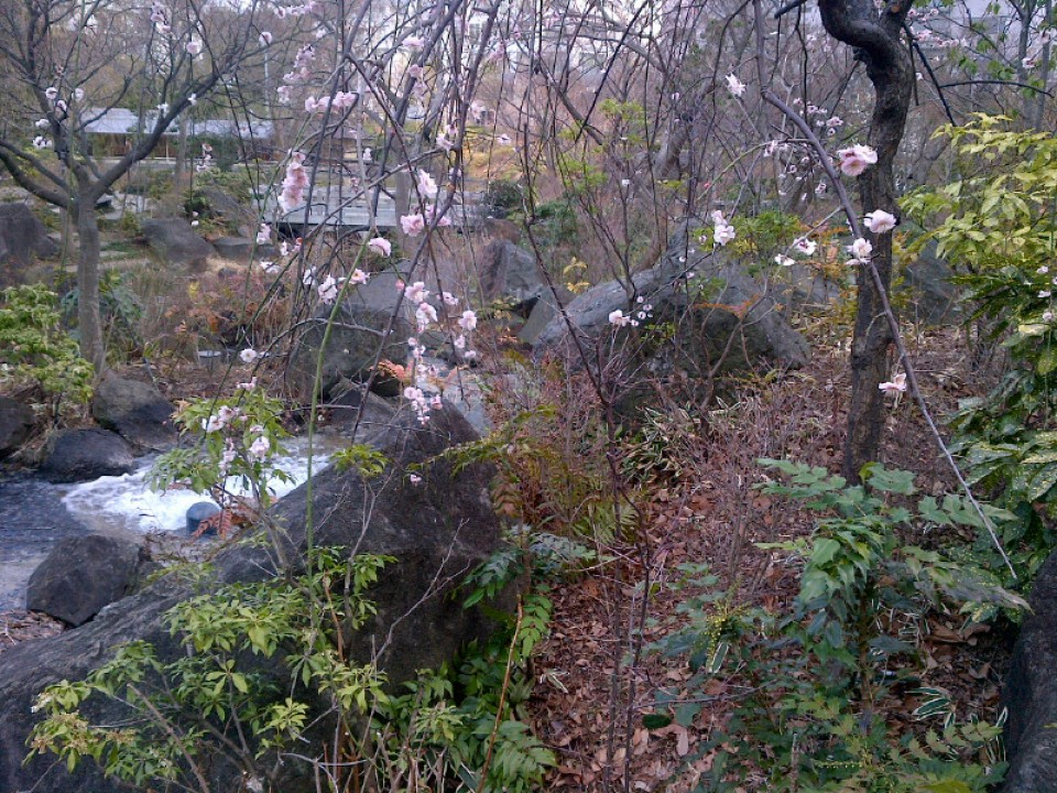 Flowers blooming in the Hinokicho park behind Midtown