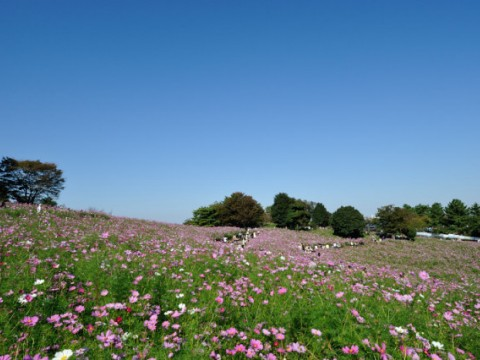 Showa Kinen Park in Tachikawa City Just outside Tokyo is a lovely place to Play in Japan! images