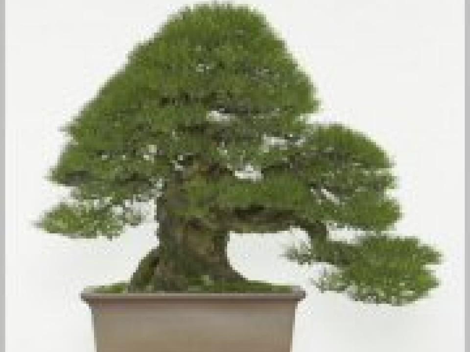 Bonsai kuromatsu