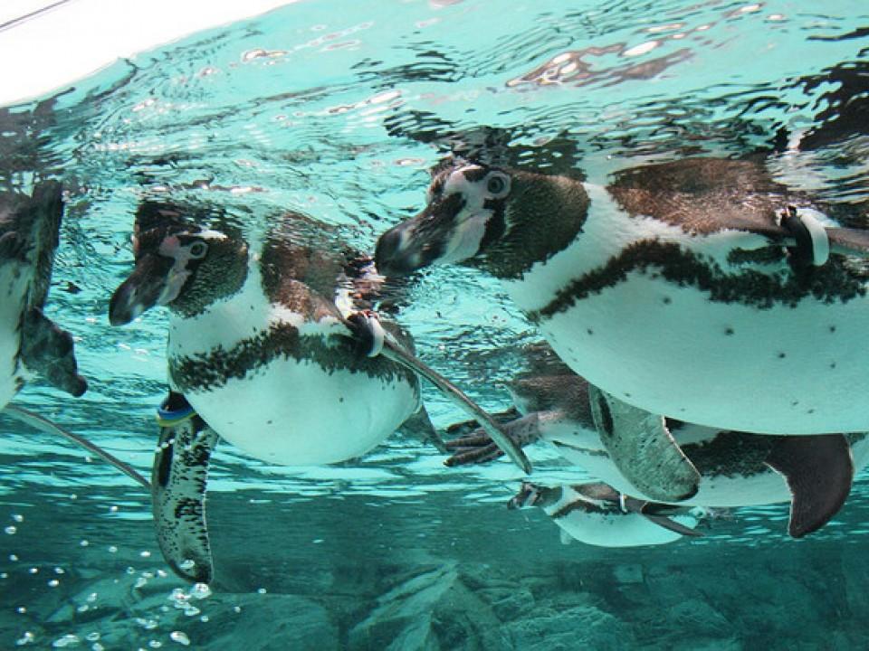 Penguins at Kasai Rinkai Aquarium