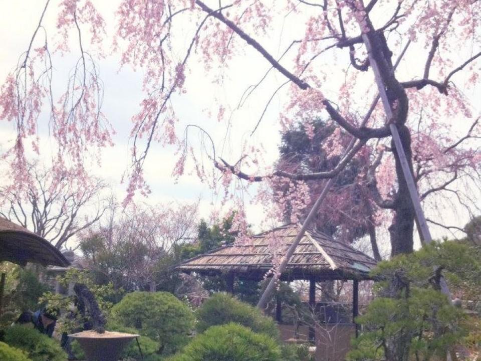The drooping Sakura tree