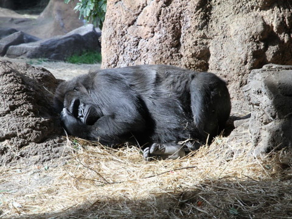 A Gorilla Sleeping at Ueno Zoo