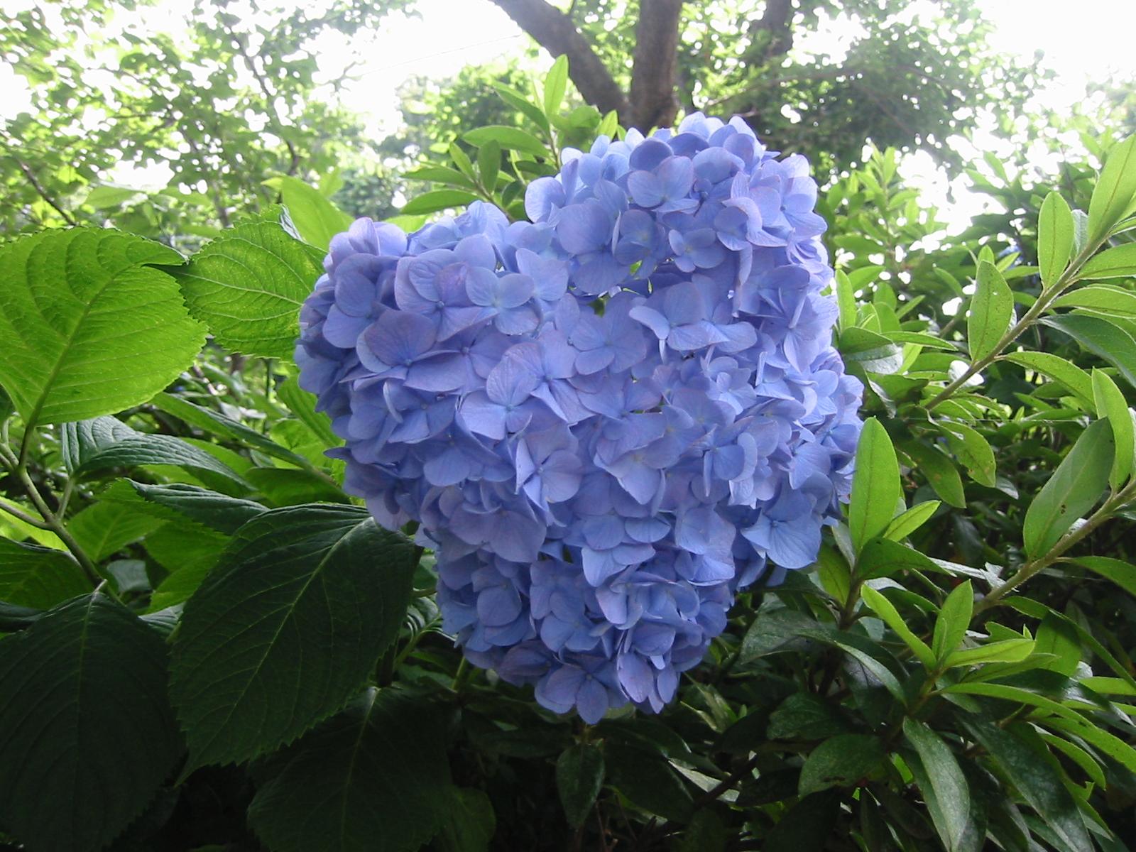 Hydrangea's in Japan - Ajisai