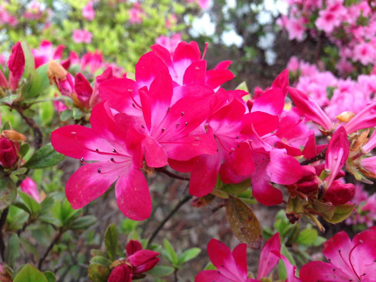 Azalea Tsutsuji Spring Flowers In Japan Deepjapan