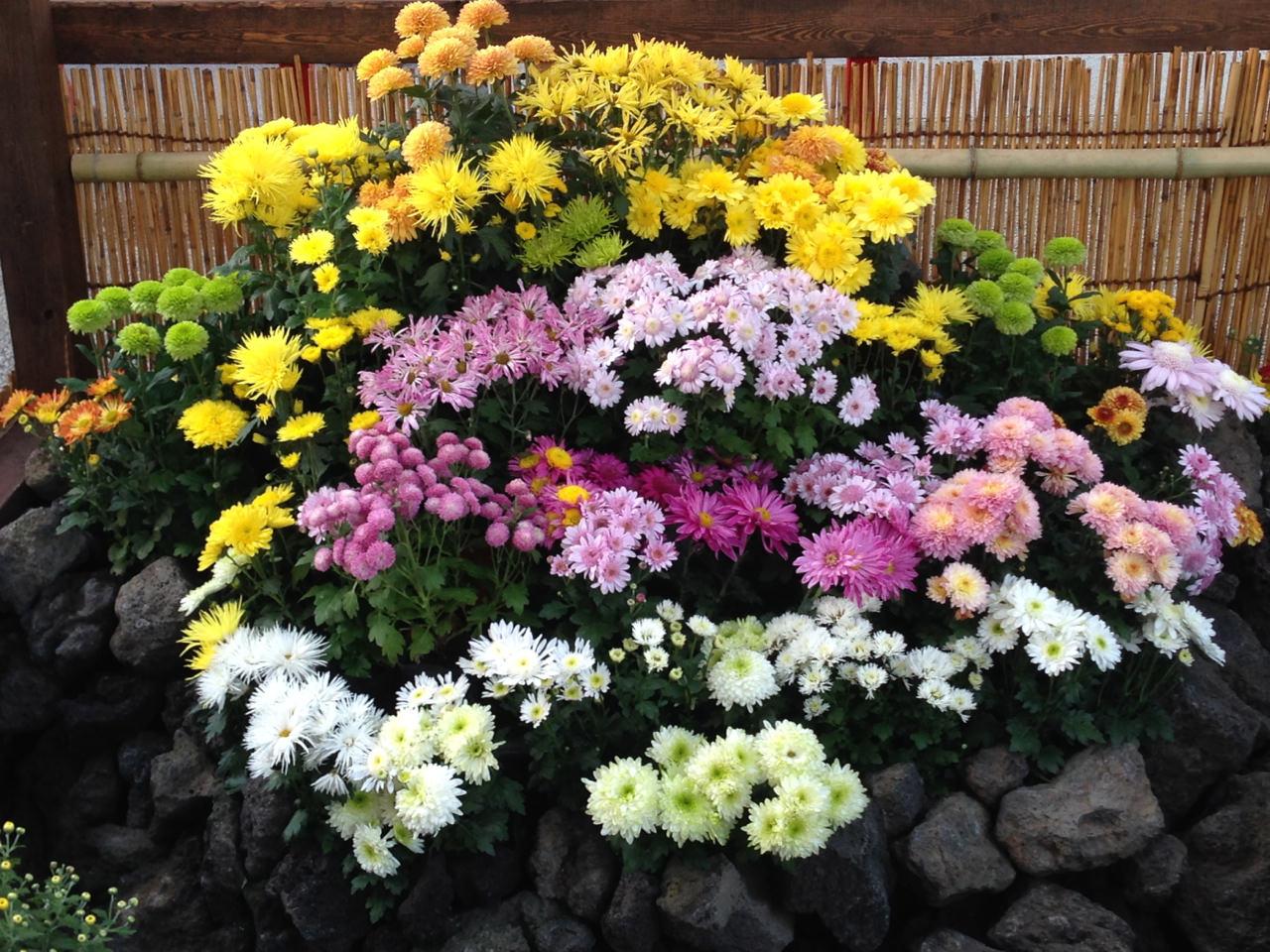 Chrysanthemum Exhibitions Enjoy Japanese Flowers In Autumn Deepjapan
